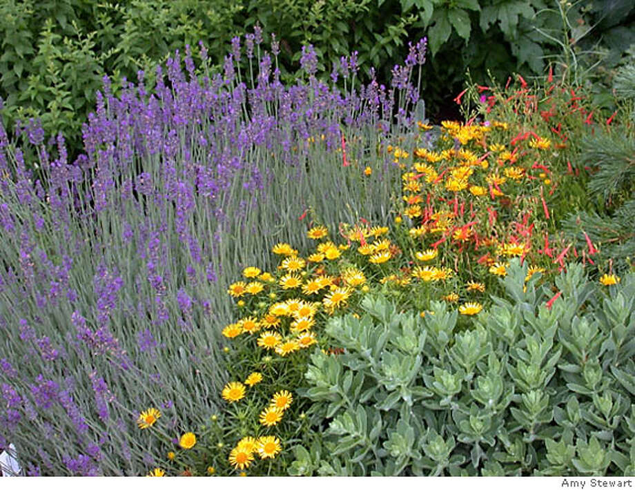 Lavender (from left to right), Hymenoxys acaulis, 'Sundancer' daisy, Penstemon pinifolius 'Nearly Red' and a sedum not yet in bloom at High Country Gardens' demonstration garden in New Mexico. Photo by Amy Stewart