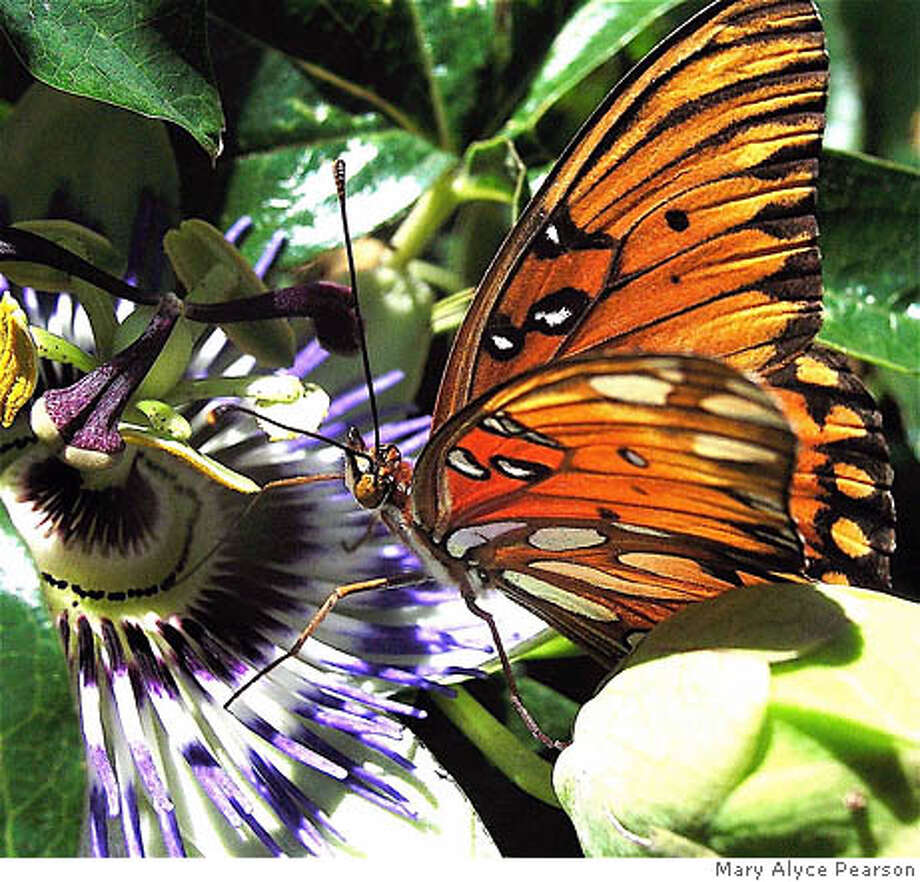A gulf fritillary butterfly, distinguished by bright orange wings with black markings, perches lightly on a passion flower. Photo by Mary Alyce Pearson