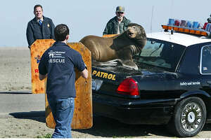A sea lion seeks refuge on the trunk of a California Highway Patrol vehicle in the San Joaquin Valley town of Los Ba�os in February 2004. Nicknamed Chippy, the 300-pound male was netted and transported to the Marine Mammal Center for aid. Associated Press photo, 2004, by Mark Crosse
