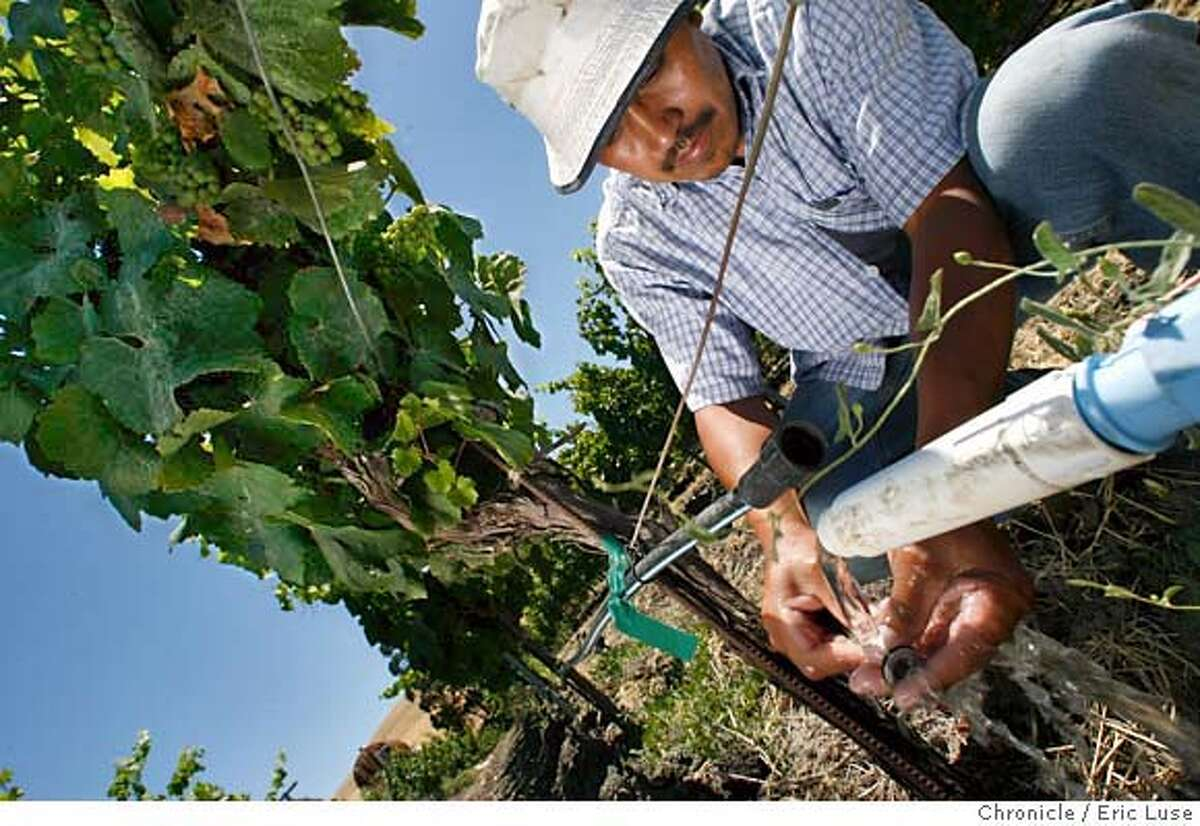 globalwarming078_el.jpg Vineyard worker Prudencio Tinoco repairing drip irrigation in a Chardonnay Vineyard showing grape clusters in their early development at Roche Vineyard in Sonoma County. Global warming and it's effect on vineyard's. Photographed in Sonoma Eric Luse/The Chronicle names (cq) from source MANDATORY CREDIT FOR PHOTOG /