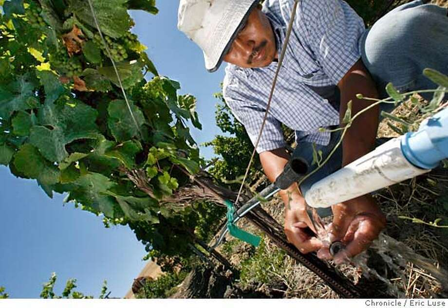 globalwarming078_el.jpg Vineyard worker Prudencio Tinoco repairing drip irrigation in a Chardonnay Vineyard showing grape clusters in their early development at Roche Vineyard in Sonoma County. Global warming and it's effect on vineyard's. Photographed in Sonoma  Eric Luse/The Chronicle  names (cq) from source MANDATORY CREDIT FOR PHOTOG / Photo: Eric Luse