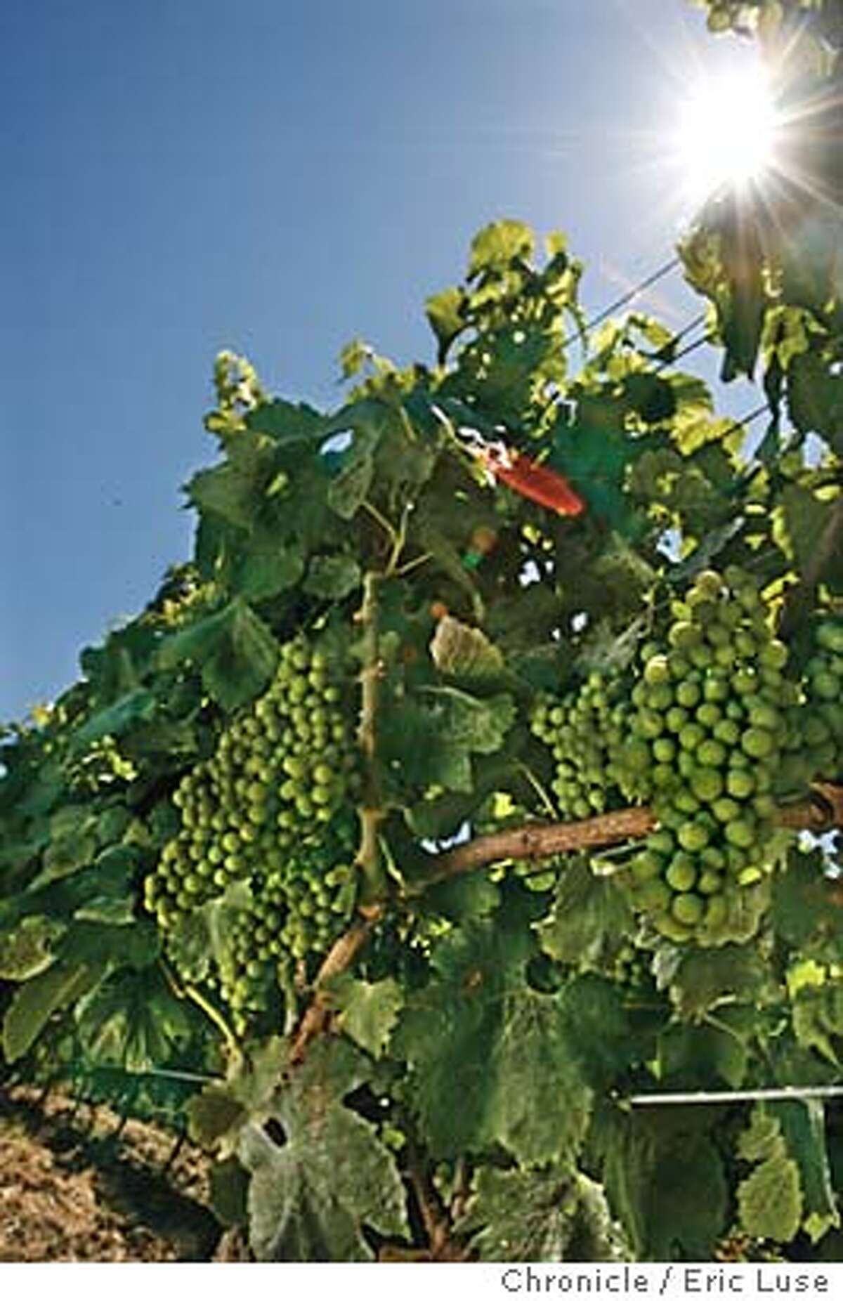 globalwarming030_el.jpg Chardonnay Vineyard showing grape clusters in their early development at Roche Vineyard in Sonoma County. Global warming and it's effect on vineyard's. Photographed in Sonoma Eric Luse/The Chronicle names (cq) from source