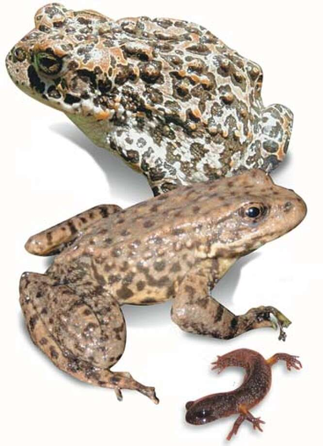 From top to bottom: Yosemite toad, Yellow-legged frog, Siskiyou salamander. Photos by I�igo Martinez-Solano and Noah Greenwald, special to the Chronicle