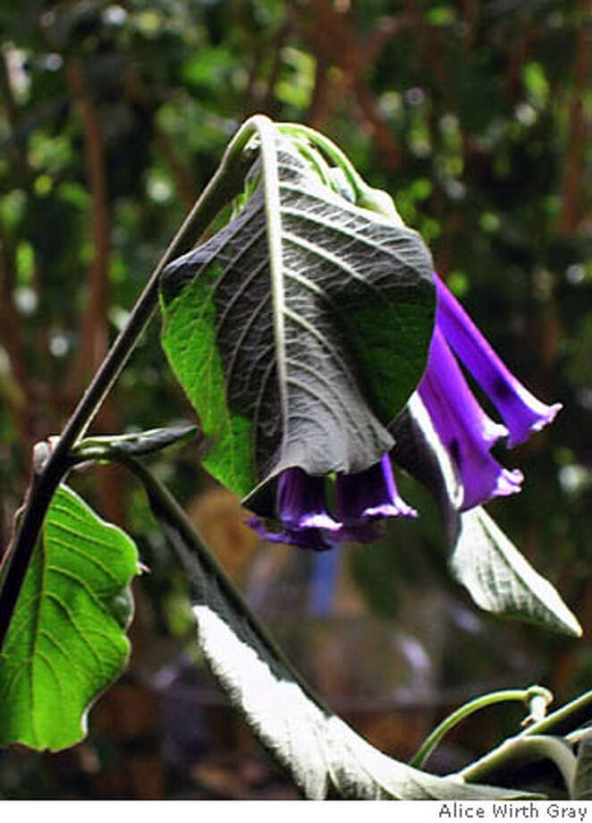 Iochroma cyaneum adds a lush purple to your garden that hummingbirds will clamor to get to. Photo by Alice Wirth Gray