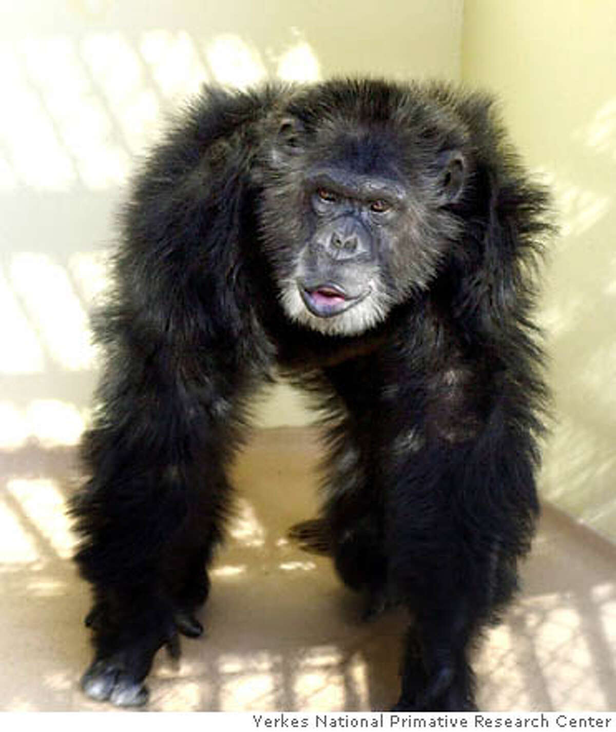 Clint's DNA was used to sequence the chimpanzee genome, an important advance for humanity. Photo courtesy of Yerkes National Primate Research Center