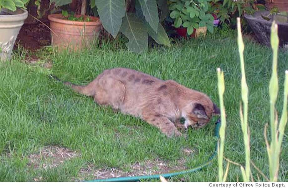 Mt. Lion cub was found in residential back yard. Courtesy of Gilroy Police Dept.