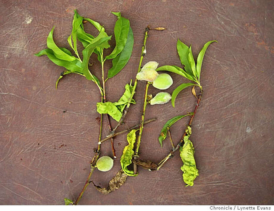 Credit: Lynette Evans/The Chronicle  Caption: The effects of peach leaf curl: reddish bubbles on leaves that curl under as if shirred. Leaves turn brown and peaches are deformed and fail to thrive. Photo: Lynette Evans