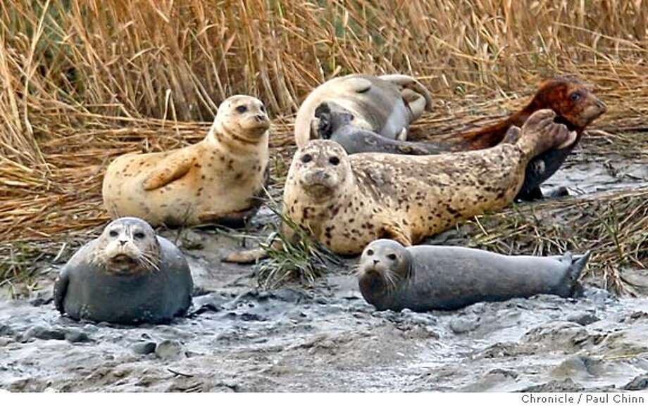 A group of harbor seals rest on the muddy shore of Mowry Slough while Norton Bell, a volunteer for the Don Edwards San Francisco Bay National Wildlife Refuge, conducts his weekly count of the marine mammals in Newark, Calif. on Thursday, Oct. 18, 2007. On this day he counted only ten but at peak times during pupping season, Bell has seen more than 200 at the same location. Recent findings have shown that harbor seals have become contaminated by pollutants from the bay.  PAUL CHINN/The Chronicle  **Norton Bell MANDATORY CREDIT FOR PHOTOGRAPHER AND S.F. CHRONICLE/NO SALES - MAGS OUT Photo: PAUL CHINN