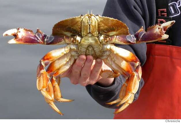 Close-up of Dungeness crab.  Credit: Chronclce File Photo Photo: Chronicle File Photo