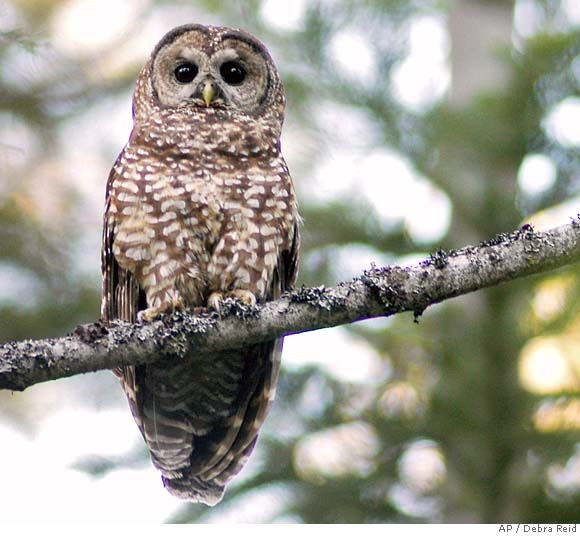 the background of the nocturnal bird northern spotted owl