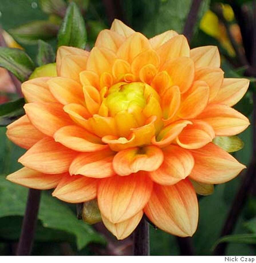 Plant of the week dahlia sfgate dahlia vincent paradiso photo handout izmirmasajfo