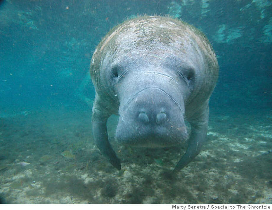 TRAVEL MANATEES -- How many bottles of rum would it take for you to confuse this face with that of a mermaid? Taken in the Crystal River National Wildlife Refuge. Credit: Marty Senetra / Special to The Chronicle Photo: Marty Senetra