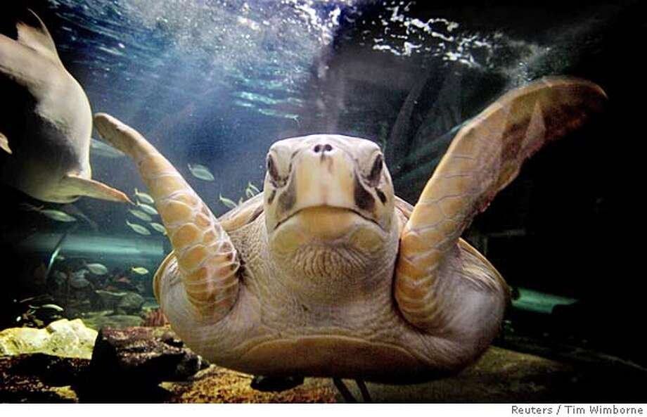 Leatherback marine turtle swims in its new home at Sydney Aquarium Photo: TIM WIMBORNE