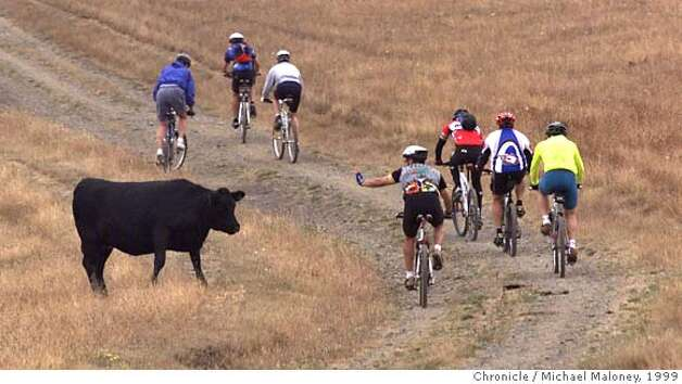 RACE25/C/16JUL99/NF/MJM  Race Across California Enviro competitors bike up the Bolinas Ridge Trail near Mt Tam as a cow looks on.  R.A.C.E. is a four day adventure style race from Lake Tahoe to the GG Bridge. Teams competed against each other as they raced on foot, on bike and on kayaks.  CHRONICLE PHOTO BY MICHAEL MALONEY RUN 6 COLUMNS!! Photo: MICHAEL MALONEY
