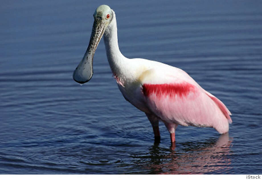 Once hunted to decorate women's hats, the roseate spoonbill now flourishes along Mexico's coasts. Photo by iStock.