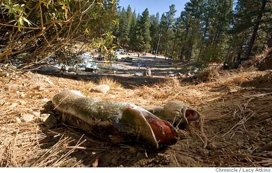 Along with the 41 inch pike is a trout both killed when the California Fish and Game deposit 16,000 gallons of poison in to Lake Davis, in Portola, Ca. Sept. 25, 2007. The reasoning is to kill off the hundreds of thousand northern pike which has become the killer of all other kinds of fish. (Lacy Atkins /San Francisco Chronicle) MANDATORY CREDITFOR PHOTGRAPHER AND SAN FRANCISCO CHRONICLE/NO SALES-MAGS OUT Photo: Lacy Atkins