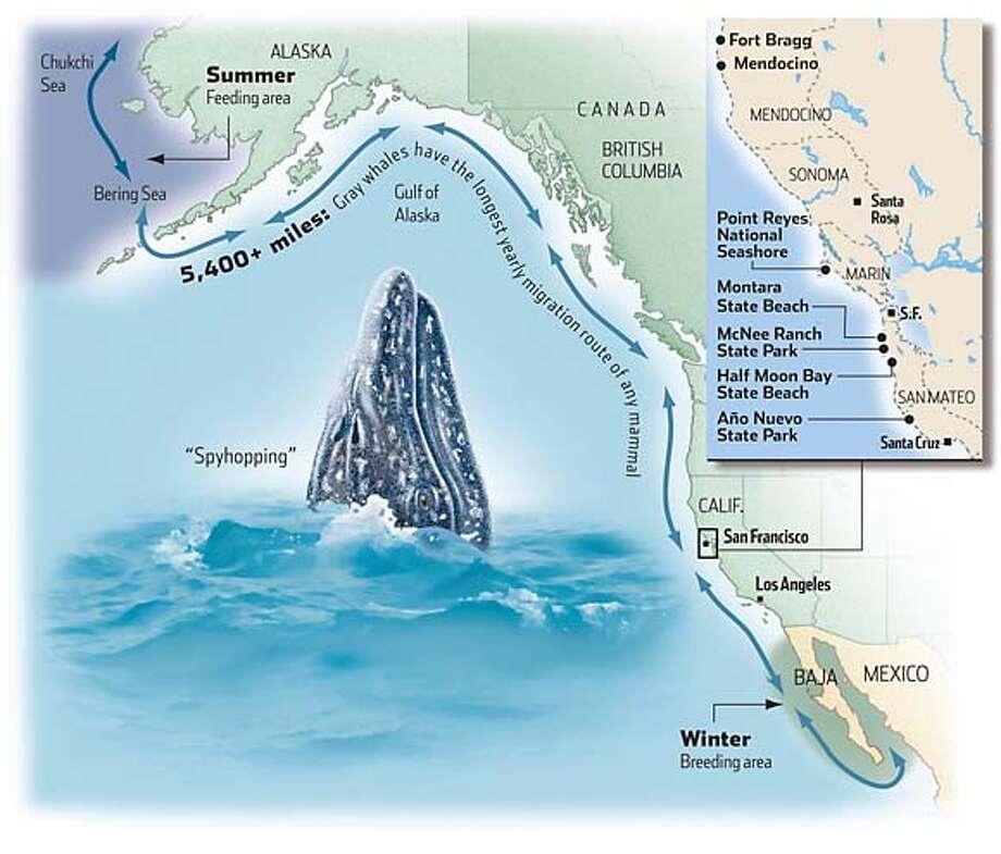 Whale Watching. Chronicle graphic by John Blanchard Photo: John Blanchard