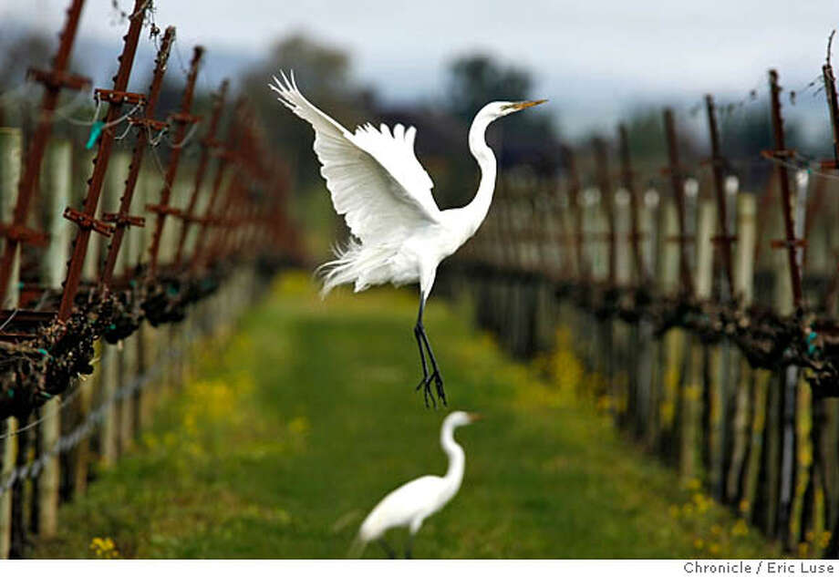 harvest06_0120_el.JPG Spring has sprung in Saralee's Vineyard, Sonoma County with a White Heron leaping to fly from a vineyard row of vines budding out with Spring. ..Eric Luse The Chronicle MANDATORY CREDIT FOR PHOTOG AND SF CHRONICLE/ -MAGS OUT Photo: Eric Luse