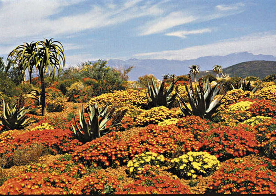 "South Africa's succulent karoo flora is projected to lose 99 percent of its distribution by 2050 because of climate change. Photo from ""The Weather Makers"""