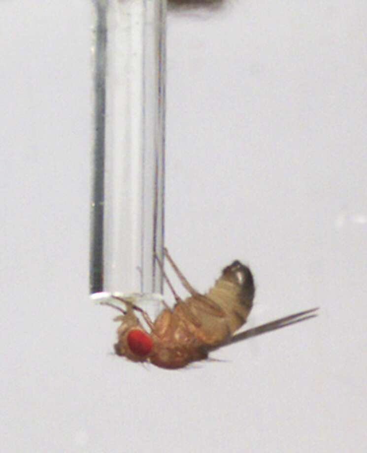 In this undated image provided by the University of California San Francisco, a male fruit fly drinks alcohol-laced food from from a tube. In the Friday, March 16, 2012 issue of the journal Science, researchers say sexually deprived male fruit flies are driven to excessive alcohol consumption, drinking far more than comparable, sexually satisfied male flies. (AP Photo/University of California, San Francisco, G. Ophir) Photo: G. Ophir, Associated Press