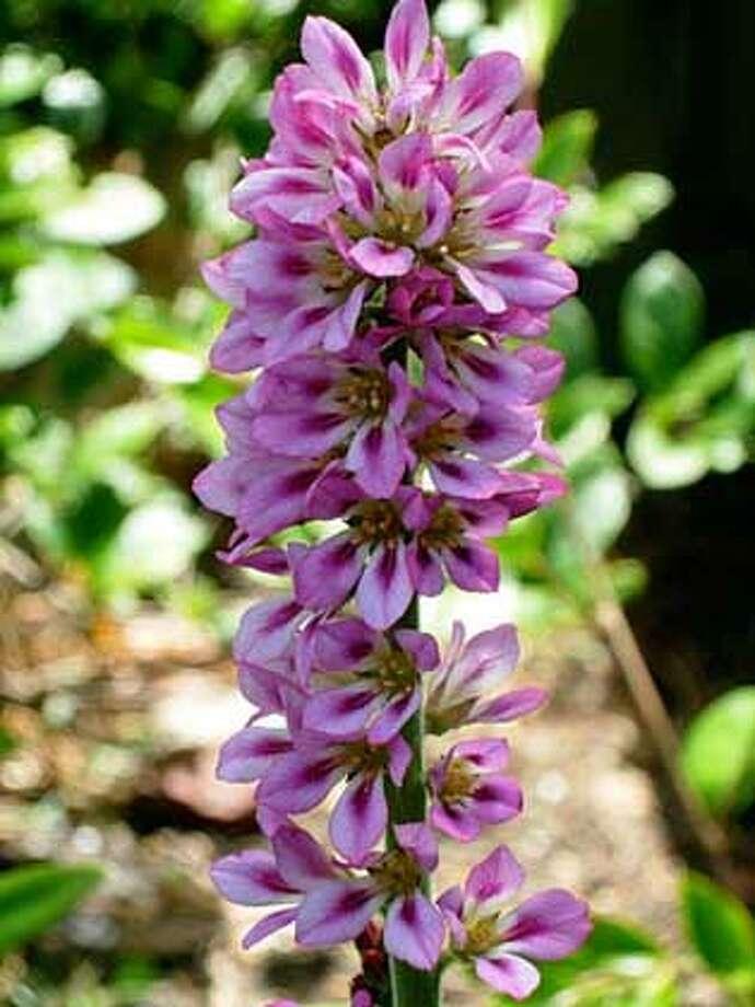 Francoa sonchifolia Photo: Demi Bowles Lathrop