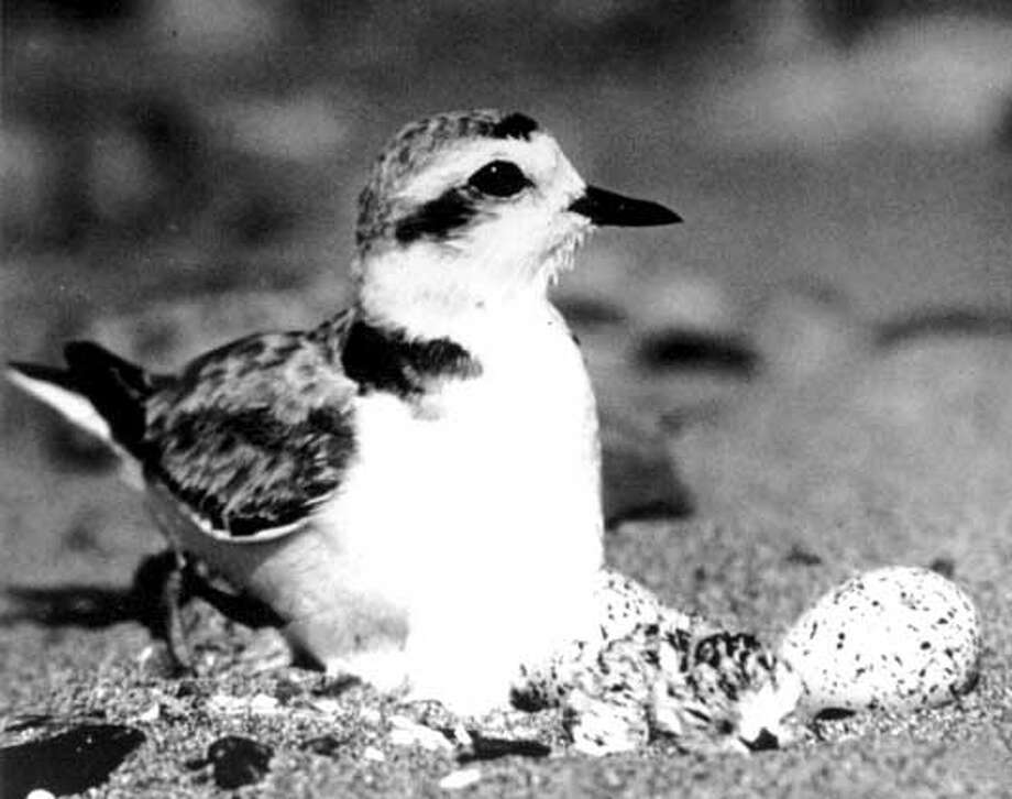 THIS IS A HANDOUT IMAGE. PLEASE VERIFY RIGHTS. PLOVER2-C-10JUL02-MT-HO --- Image of the Western Snowy Plover from the photo library of the Sacramento Fish & Wildlife Office.  Photo by PRBO  (HANDOUT PHOTO)  Ran on: 09-25-2007  Western snowy plover  Ran on: 09-25-2007 Photo: HANDOUT