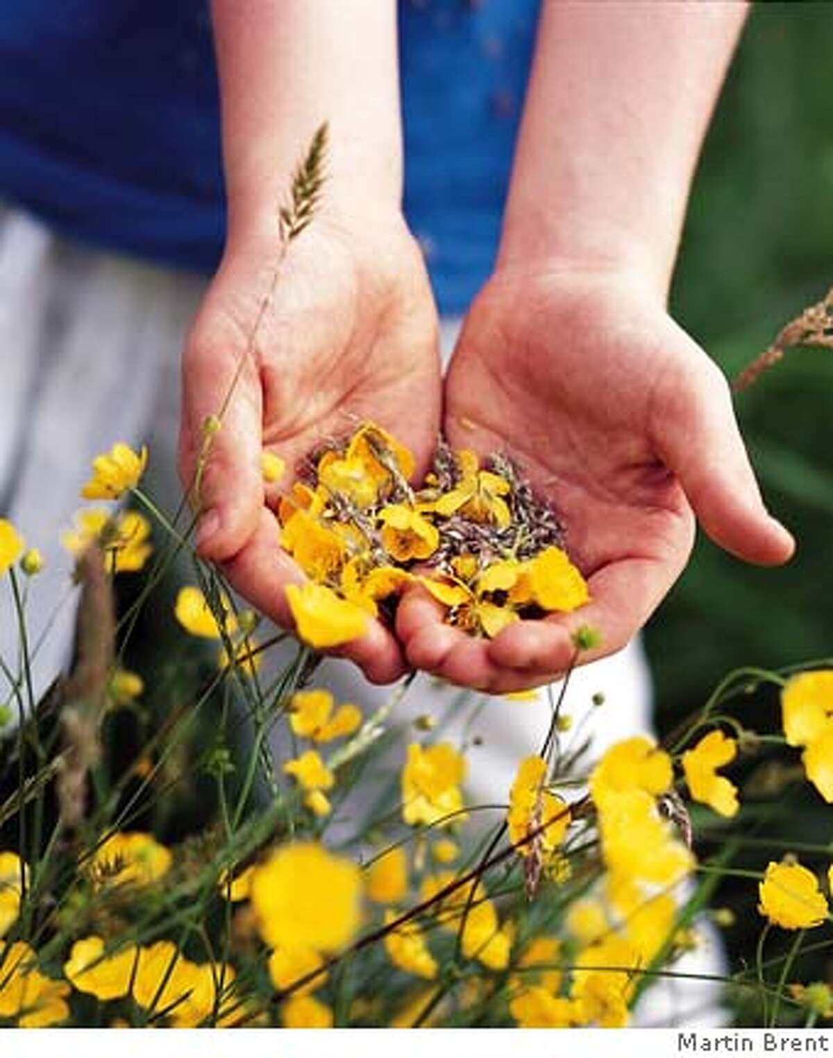 TRAVEL GARDENS -- Child's hands with buttercups at RHS Wisley Gardens, Surrey. Ran on: 07-25-2004 A child inspects buttercups at the Royal Horticultural Societys Wisley Garden.