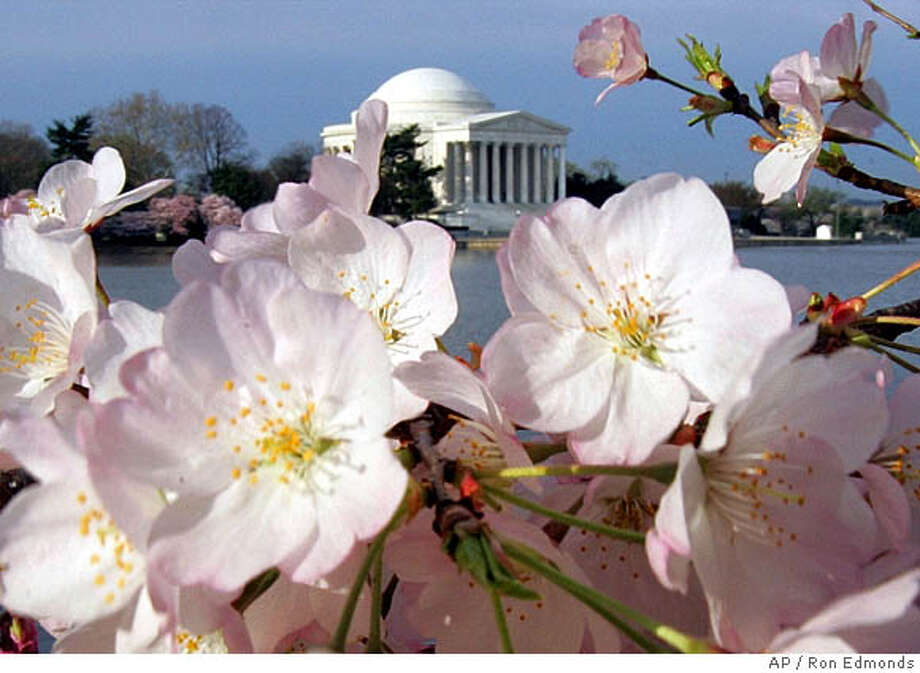 ** FOR IMMEDIATE RELEASE--FILE **Cherry Blossoms frame the Jefferson Memorial in this April 7, 2005, file photo, in Washington. This year's National Cherry Blossom Festival runs March 25-April 9, an event expected to bring more than a million visitors to the city and pump millions of dollars into the region's economy. (AP Photo/Ron Edmonds/FILE) FOR IMMEDIATE RELEASE. AN APRIL 7, 2005 FILE PHOTO Photo: RON EDMONDS