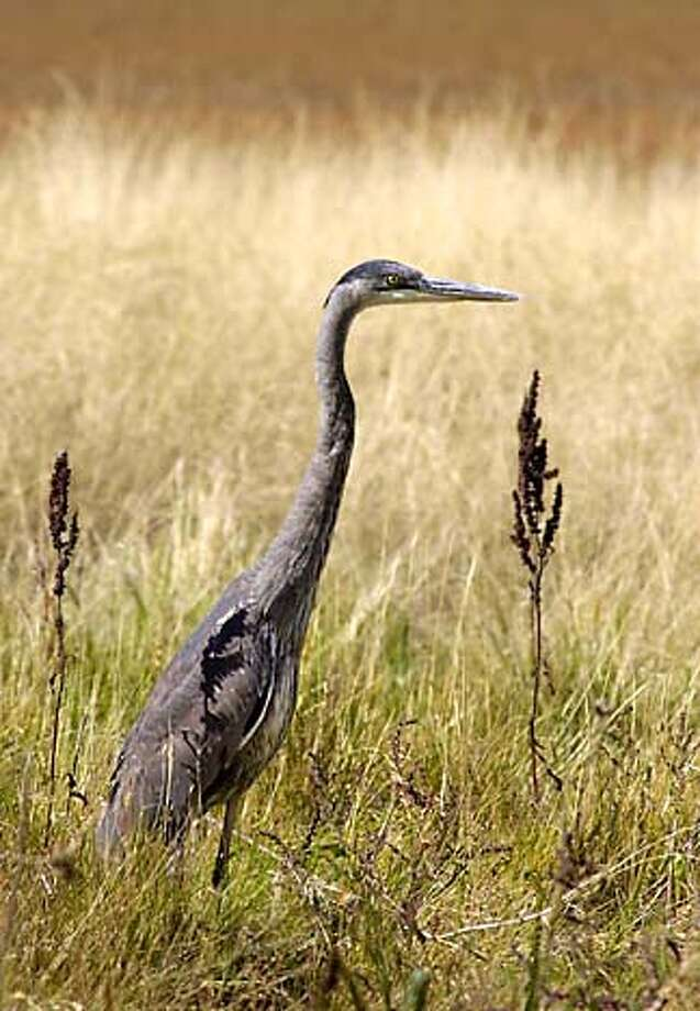 Great blue herons and other birds are on view at Audubon Canyon Ranch. Associated Press file photo, 2003, by Douglas C. Pizac