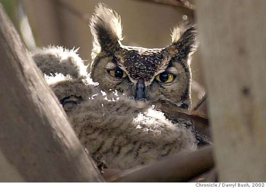 OWL-C-12APR02-MT-DB Eyes of a great horned owl peer out as it sits in its nest protecting its young in a tree, near the Buena Vista Winery in Sonoma. Chronicle Photo by Darryl Bush Photo: Darryl Bush