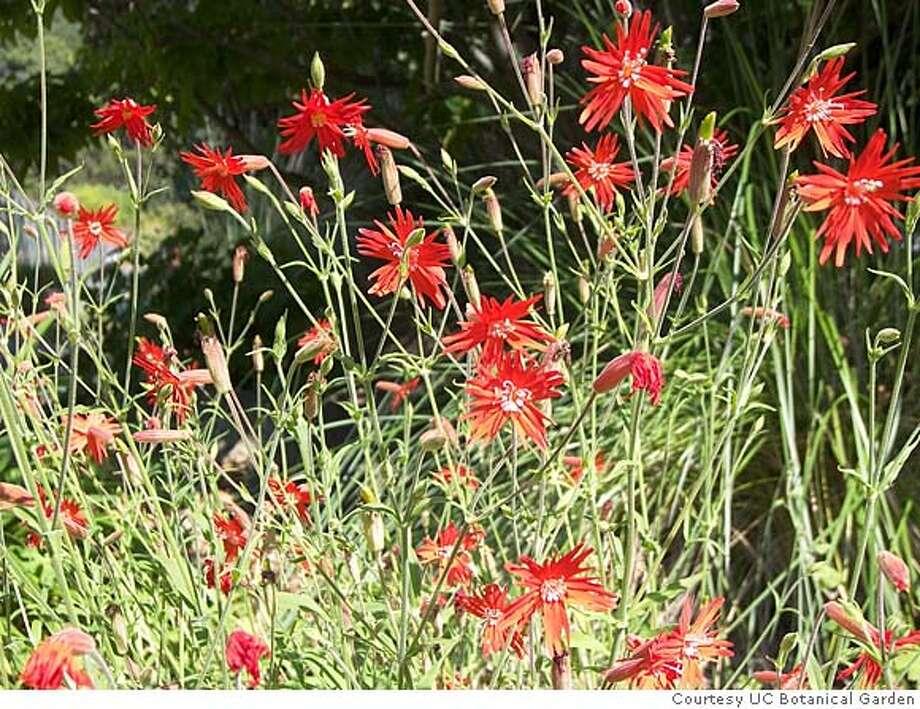 Slug: UC botanical garden Caption: Species of silene at a fall plant sale at the garden. Credit: Courtesy University of California Botanical Garden Photo: Handout