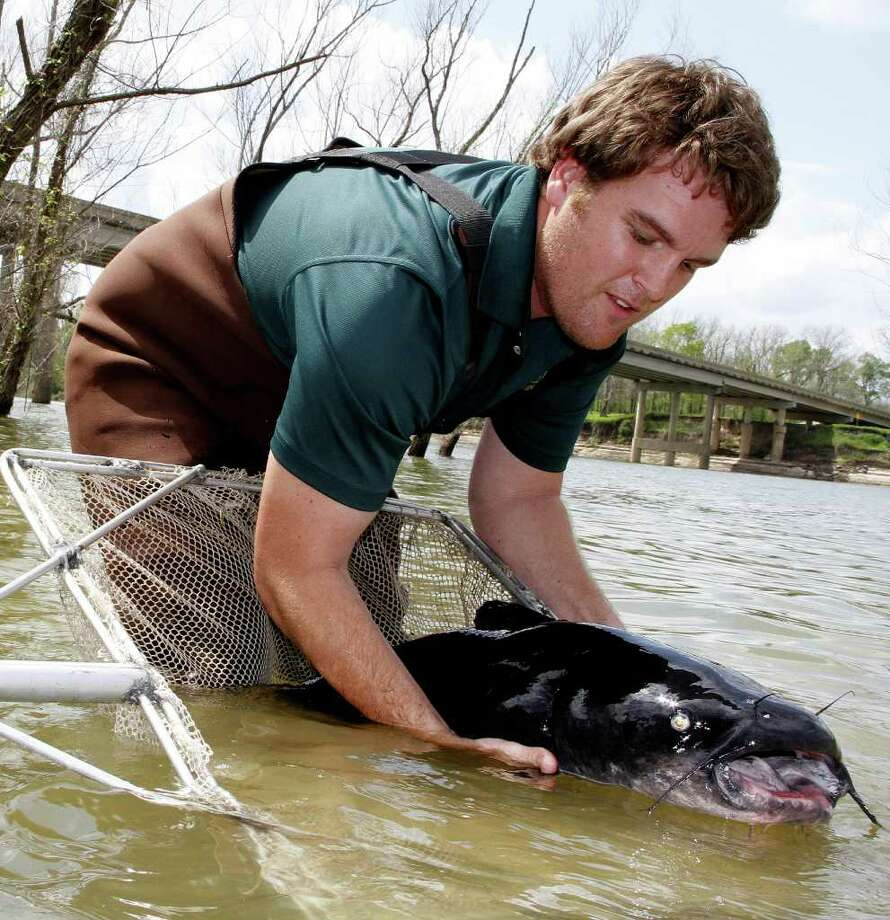 Josh Blackmon of TPWD's Jasper Fish Hatchery prepares to release a 50-pound-plus blue catfish into the Trinity River below Lake Livingston. The fish was one of 41 huge cats that had served decades as brood fish in the hatchery and were returned to the Trinity and Lake Livingston, where the fish had been collected years ago. Photo: Shannon Tompkins