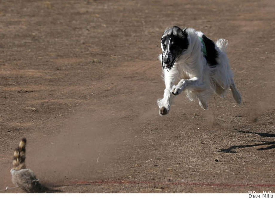 Spot, Sally Barron's Borzoi, lure coursing. Credit: Dave Mills Photo: Dave Mills