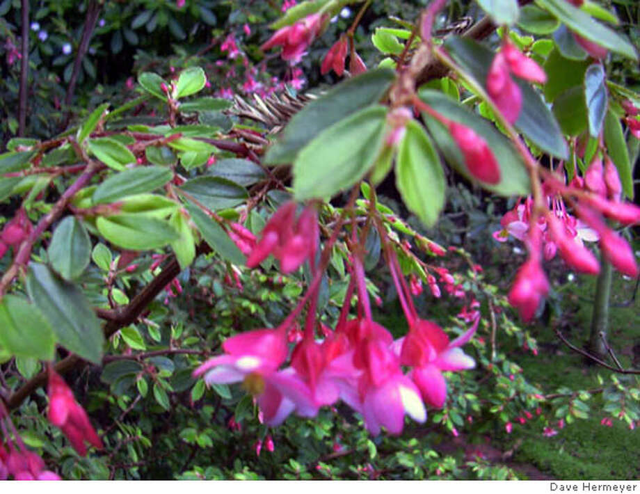 Fuchsia begonia is a perennial shrub that produces small, fuchsia-like pink to red flowers. Photo by Dave Hermeyer