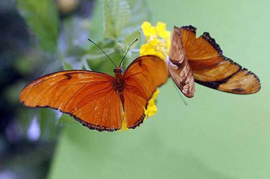 Caption: Brent Dennis, new director of the San Francisco Botanical Garden, says he may revive such popular exhibits such as the hands-on 2006 butterfly habitat at the Conservatory of Flowers. Photo: Unknown