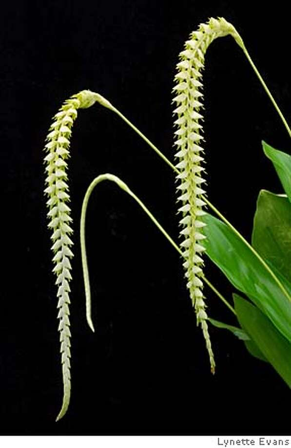 Dendrochilum orchid for orchid show. For info, Tom Perlite, 415 990-1314. Species from the Philippines This is frequently seen in the trade under a synonym, <i>D. magnum</i> Grown by Golden Gate Orchids  Species from the Philippines This is frequently seen in the trade under a synonym, <i>D. magnum</i> Grown by Golden Gate Orchids Photo: Eric Hunt