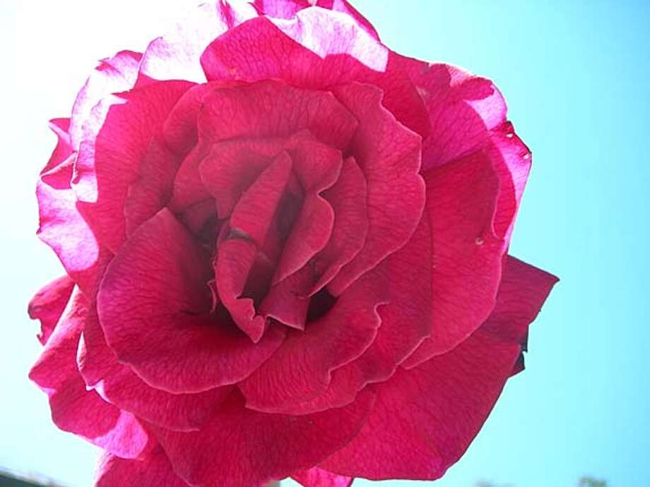 'Mr. Lincoln' is a fragrant red rose. Photo: Lynette Evans