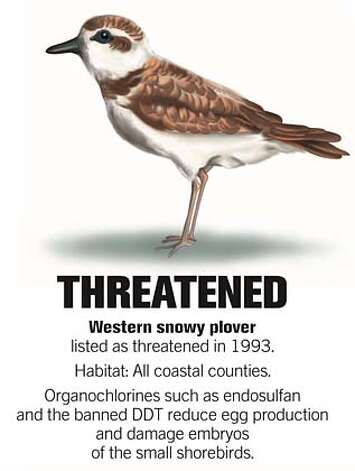 Western snowy plover. Source: Center for Biological Diversity. Chronicle illustration by John Blanchard