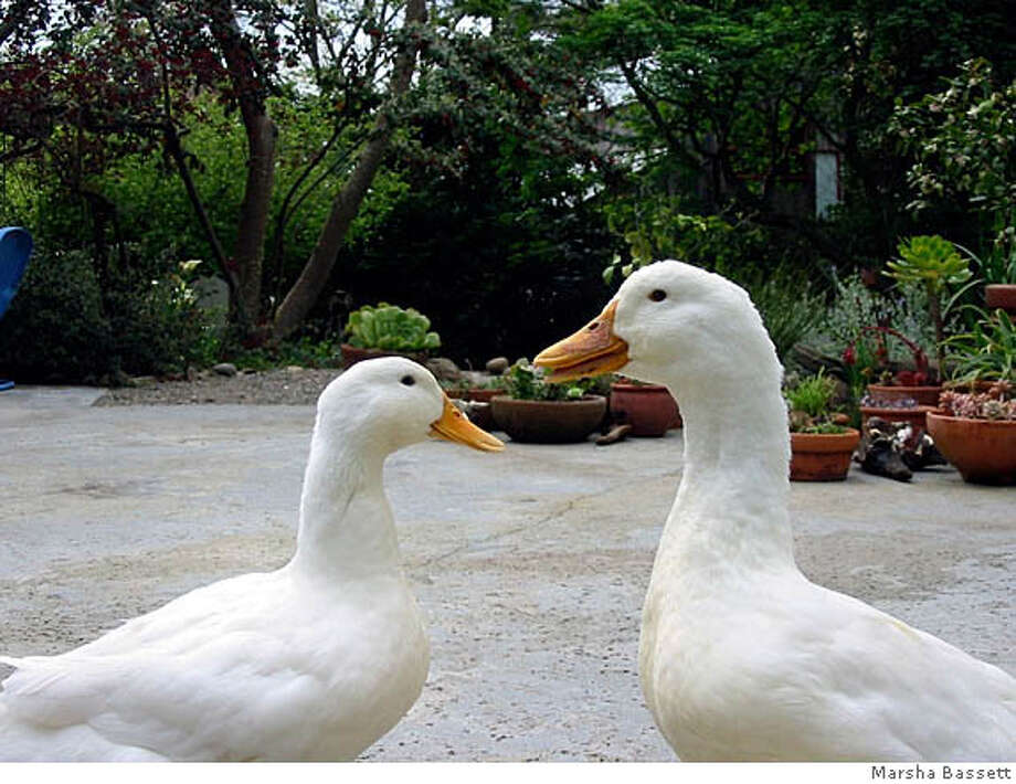 Toby and Margaret, pet Pekin ducks, are as smart as they are sleek. Photo courtesy Marsha Bassett