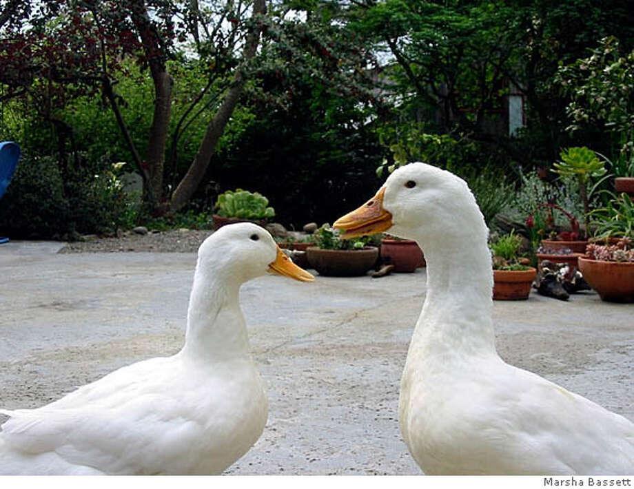 Toby and Margaret, pet Pekin ducks, are as smart as they are sleek. Photo courtesy Marsha Bassett