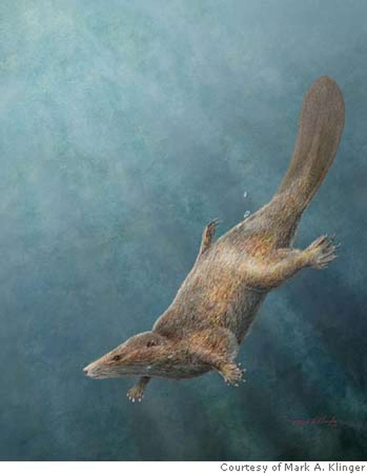 """Castorcauda lustrasimilis is a docodont mammaliaform from the Middle Jurrassic (~165 million years old).Characterized by an evolutionary convergence of its """"beaver-like"""" tail, and some dental feautres for feeding small fish and invertebrates convergent to that of an otter. This artistic reconstruction of Castorcauda lustrasimilis shows it diving into water. [Image courtesy of Mark A. Klinger/CMNH]"""