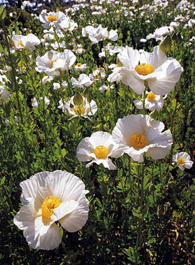 The fried egg flower or matilija poppy, above, likes hot, dry conditions.