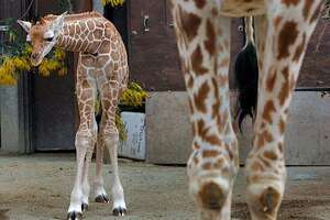A baby male giraffe born at the Oakland Zoo on Feb. 6 stands awkwardly behind his mother Tiki as he meets the news media for the first time in Oakland, Calif. on 2/17/06. The still unnamed calf stands six feet tall and weighs 150 pounds.  PAUL CHINN/The Chronicle MANDATORY CREDIT FOR PHOTOG AND S.F. CHRONICLE/ - MAGS OUT