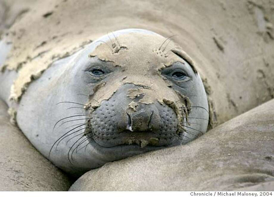 Elephant seals lounge on the beaches of Ano Nuevo State Preserve north of Santa Cruz, site of the largest mainland breeding colony in the world for the northern elephant seal. December through March is the breeding season. This time of the year, the elephant seals return to Ano Nuevo's beaches to molt.  Photo by Michael Maloney / CHRONICLE Photo: Michael Maloney