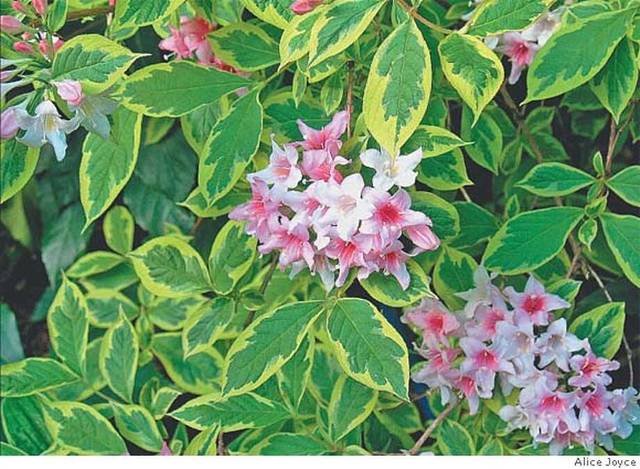 Weigela f. 'Variegata' grows 5 feet tall, with patterned leaves edged in bright lime green fading to creamy tones. Photo by Alice Joyce