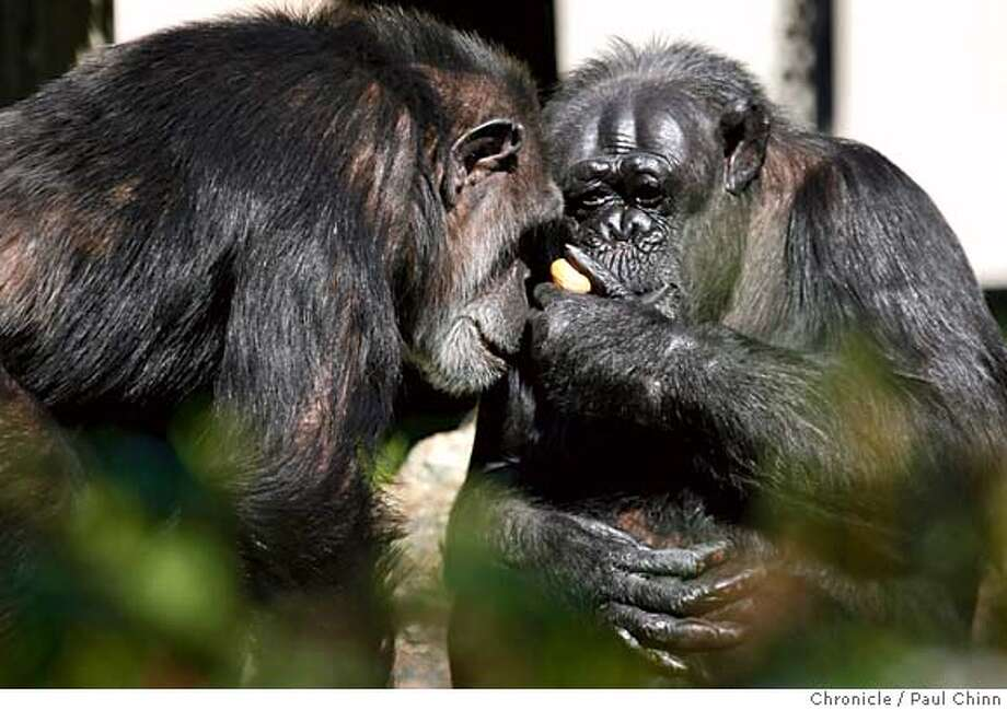 Chimpanzees Maggie (left) and Tallulah share a moment together during the popular animal sex tour at the San Francisco Zoo on Valentine's Day in San Francisco, B.C. on 2/14/06.  PAUL CHINN/The Chronicle MANDATORY CREDIT FOR PHOTOG AND S.F. CHRONICLE/ - MAGS OUT Photo: PAUL CHINN
