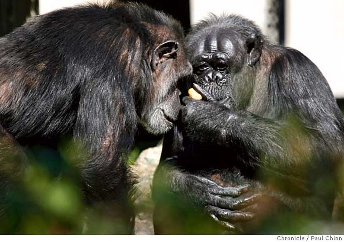 Chimpanzees Maggie (left) and Tallulah share a moment together during the popular animal sex tour at the San Francisco Zoo on Valentine's Day in San Francisco, B.C. on 2/14/06. PAUL CHINN/The Chronicle MANDATORY CREDIT FOR PHOTOG AND S.F. CHRONICLE/ - MAGS OUT