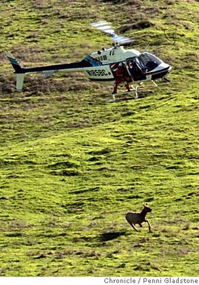 elk14  this chopper chases down an elk so it can shoot a net at it.  The state Department of Fish and Game are trapping Tule Elk at the Concord Naval Weapons Station to relocate the herd there to other locations. The agency will relocate 46 animals to herds in Lake, Colusa and Solano counties from the former base, much of which is slated for major development Photo by Penni Gladstone/The San Francisco Chronicle  Photo taken on 2/13/06, in Concord, CA. Photo: Penni Gladstone