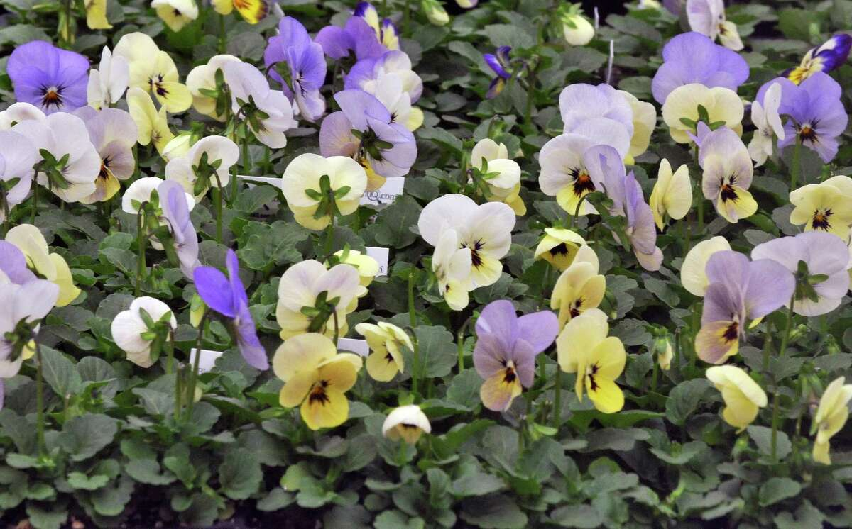 Violas in bloom at Valoze's Greenhouse in Latham Friday March 16, 2012. (John Carl D'Annibale / Times Union)
