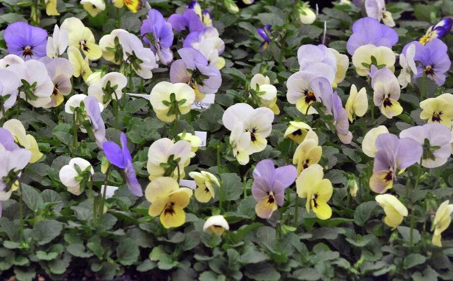 Violas (Viola reichenbachiana) Photo: John Carl D'Annibale / 00016867A